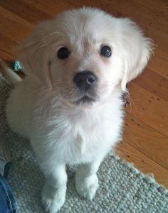 Meet Bodhi, the labrador retriever. A.K.A: the All-American dog.