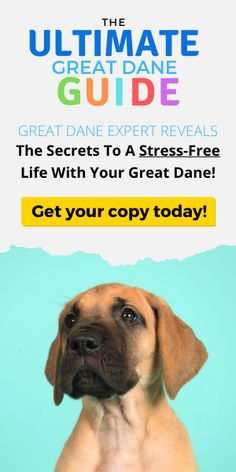 This guide cover everything that a Great Dane needs to know about caring for their dog! Food, supplies, potty and crate training, you'll find it all here. Dog Breeds By Size, Dog Breeds List, Cute Dogs Breeds, Best Dog Breeds, Dane Puppies, Dane Dog, Black Lab Puppies, Allergic To Dogs, Dog Crossbreeds