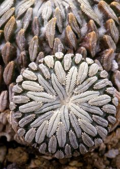 Fractal symmetry, Pelecyphora aselliformis, a cactus --This world is really awesome. The woman who make our chocolate think you're awesome, too. Our flavorful chocolate is organic and fair trade certified. We're Peruvian Chocolate. Order some today on Amazon!http://www.amazon.com/gp/product/B00725K254
