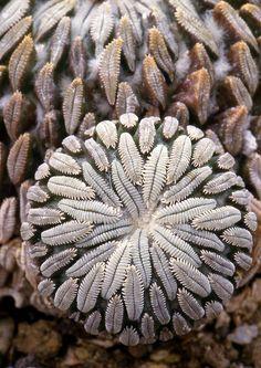 Natural Fractals Pelecyphora aselliformis, a cactus Cool Plants, Air Plants, Garden Plants, Cactus E Suculentas, Cactus Planta, Cacti And Succulents, Planting Succulents, Planting Flowers, Agaves