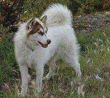 Canadian Eskimo Dog, Inuit Sled Dog, Alaskan or Mackenzie River Husky Canadian Eskimo, American Eskimo Dog, Pet Dogs, Dogs And Puppies, Dog Cat, Greenland Dog, American Curl, Rare Dog Breeds, Rare Cats