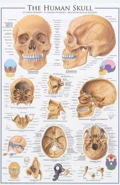 A great poster of the Anatomy of the Human Skull! Perfect for classrooms, doctors' offices, and Med Students. Check out the rest of our amazing selection of Human Anatomy posters! Need Poster Mounts. Skull Anatomy, Body Anatomy, Anatomy Drawing, Anatomy Art, Forensic Anthropology, Biological Anthropology, Human Anatomy And Physiology, Medical Anatomy, Med Student
