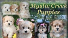 Potty Training your Maltipoo, Morkie, or Yorktese Puppy