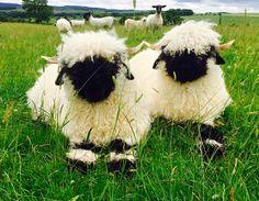 Valais Blacknose sheep Northumberland