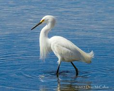 Snowy egret working the shallows
