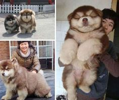 A Chusky, Husky/Chow mix.  How puffy is this little guy...