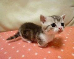 munchkin cats?!! I'm positive that I need one.