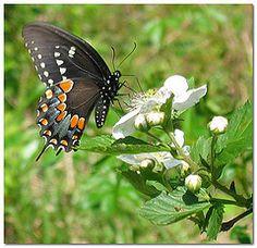 Wildflowers of Kentucky