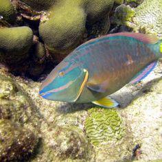 Parrotfish key to reef survival | International Coral Reef Initiative