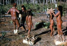 Cosechando yuca. Amazonian people harvesting cassava. Perú.