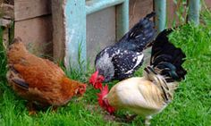What to raise in the garden to feed chickens
