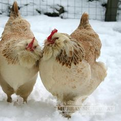 Fancy Chickens, Chickens And Roosters, Chickens Backyard, Silkie Chickens, Chicken Lady, Chicken Humor, Chicken Runs, Animales, Chicken Coops