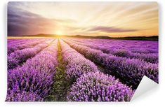 Hahnemuhle PHOTO RAG Fine Art Paper (other products available) - Lavender field at Plateau of Valensole, Provence, France. - Image supplied by Fine Art Storehouse - Fine Art Print on Paper made in the UK