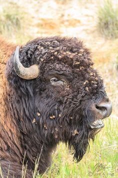 Buffalo ~ Magnificent