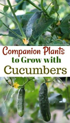 9 Companion Plants to Grow with Cucumbers - One Hundred Dollars a Month - In the interest of keeping companion planting simple, I have tried to make lists of plants that go - Cucumber Companion Plants, Companion Gardening, Cucumber Plant, Cucumber Trellis, Companion Planting Chart, Blueberry Companion Plants, Veg Garden, Fruit Garden, Edible Garden
