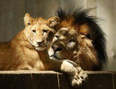 Lions - Washington DC Zoo trip October 2014