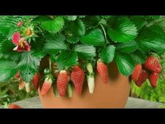 How to Grow Strawberries in a Pot (with Pictures) - wikiHow