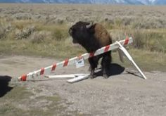 Wyoming Bison Don't Like the Government Shutdown, Either!