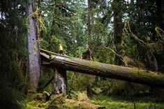 """""""The Vladimir J. Krajina Ecological Reserve Haida Gwaii - the finest stand of old growth forest I will likely ever lay my eyes on."""" Learn more about local fall hikes in BC: http://ift.tt/2fuZNRp  Photo by @freeluftsliv. #exploreBC #exploreCanada #gohaidagwaii"""