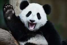 1歳になったばかりのジャイアントパンダのヌアンヌアン。マレーシアの首都クアラルン - Yahoo!ニュース(AFP=時事)