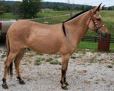 lovely dark transverse marking on withers  - dun mule john, Pinky