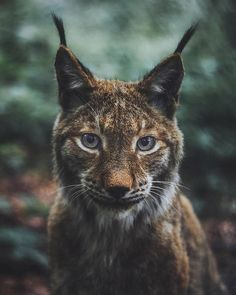 What does the Lynx say? Photography by @livingitrural. #modernoutdoors