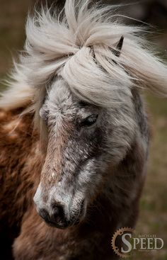 Wild(and fuzzy) Ponies of the Grayson Highlands by talicat2000, via Flickr