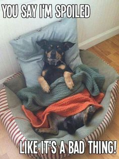 This is soooooo my dog. She acts as if being spoiled is her birthright. But I created the monster so I can't say much!