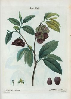 "3. Ornamental - ""Papaw. Annona triloba.""  Pawpaw, Common Pawpaw- Asimina triloba (L.) Dunal Pierre Joseph Redoute"