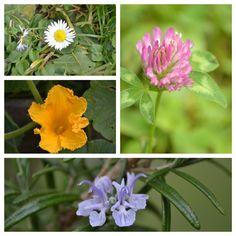 Blüten auf und in Speisen sehen toll aus und schmecken auch. Immer ein wenig so wie die Pflanze selbst, nur etwas milder. Frische Blüten gibt es fast das ganze Jahr und je nach Region können wir Mitte/Ende Februar auf die Suche gehen.