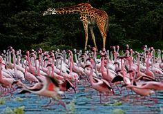Een giraffe en flamingos in Naivasha, Kenia.