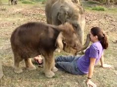 Baby Elephant Searches for Girl's Nose.awwwww, this is the cutest and hairiest little elephant I have ever. All About Elephants, Save The Elephants, Baby Elephants, Cute Baby Animals, Animals And Pets, Funny Animals, Wild Animals, Beautiful Creatures, Animals Beautiful