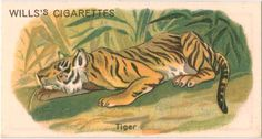 One of hundreds of thousands of free digital items from The New York Public Library. Game Birds, Birds 2, Pet Birds, Animal Cutouts, Boy Wall Art, Birds Of America, Pet Tiger, New York Public Library, Old Postcards