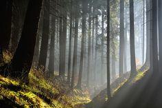 Morning haze in coniferus forest, Harz, Lower Saxony, Germany - 600-07802693 © Raimund Linke Model Release: No Property Release: No Morning haze in coniferus forest, Harz, Lower Saxony, Germany