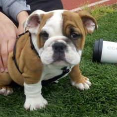 English bulldog puppy. It's safe to say that I would repin everything in the pet section <3
