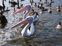 Centennial Park Pelicans