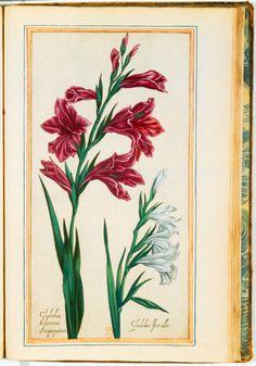 img/plantes jardin henry IV/glaieuls-Gladiolus bisantinus atropurpurens. Gladiolus flore albo.jpg