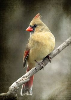 Cardinal - female -   Bailey Road