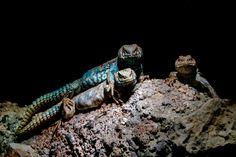Lizard trio - Ornate mastigure african lizard portrait isolated on black
