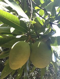 My favorite fruit that I will grow and eat fresh from the tree... green mangoes on the tree at a farm in Costa Rica. http://www.costaricarios.com/costa-rica-adventure-tours.html