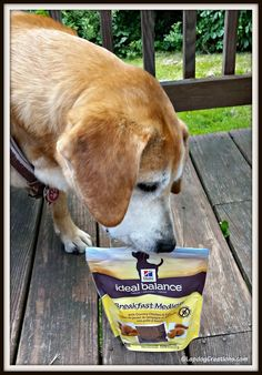 Sophie appreciate the ability to have breakfast any time, day or night, thanks to #HillsPets Breakfast Medleys Teutul thinks Hill's Breakfast Medleys are de-lish! #dogtreats #ChewyInfluencer #Hills ©LapdogCreations #ad