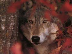 Wolf beauty