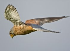 Kestrel Count at the Hawk Conservancy Trust