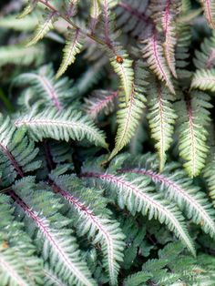 If deer are a problem in your neighborhood, try Japanese painted fern, Athyrium niponicum pictum. This handsome shade dweller grows 12 to 18 inches tall with grayish-green fronds overlaid with silver and maroon highlights.