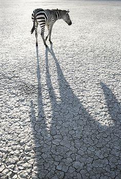 Zebra by Tim Flach