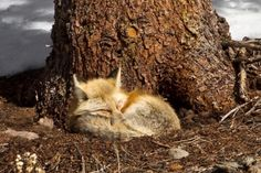Like the cat, the fox is most active after the sun goes down. In fact, it has vertically oriented pupils that allow it to see in dim light. It even hunts in a similar manner to a cat, by stalking and pouncing on its prey.