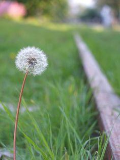 [2012.7.25] 민들레 꽃씨 X10    X10의 접사로 촬영한 민들레 꽃씨 입니다.    들에 핀 민들레의 소박한 아름다움이 느껴지는데요.    민들레 꽃씨를 한 번에 불어 날리면 소원이 이루어진다는 이야기도 있다고 하네요.    <사진정보>    촬영 모드 - Aperture-Priority AUTO   감도 - ISO 100   다이나믹 레인지 - 100%   조리개 - f/2.8   셔터스피드 - 1/180   초점거리 - 28.4mm   화이트 밸런스 - AUTO   필름 시뮬레이션 - PROVIA    http://blog.naver.com/fujifilm_x/150136711000