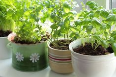 Learn how to grow herbs indoors with these indoor garden-growing tips. Indoor Garden, Garden Plants, Indoor Plants, Outdoor Gardens, Home And Garden, Indoor Herbs, Fruit Garden, Indoor Outdoor, Easy Herbs To Grow