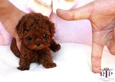 Find the perfect Toy Poodle puppies from all over the world! Micro Teacup Poodle, Teacup Poodle Puppies, Tea Cup Poodle, Teacup Maltipoo, Miniature Pomeranian, Micro Teacup Puppies, Teacup Dogs, Cute Small Dogs, Cute Little Dogs