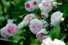 Felicite Parmentier, beautiful Alba rose.